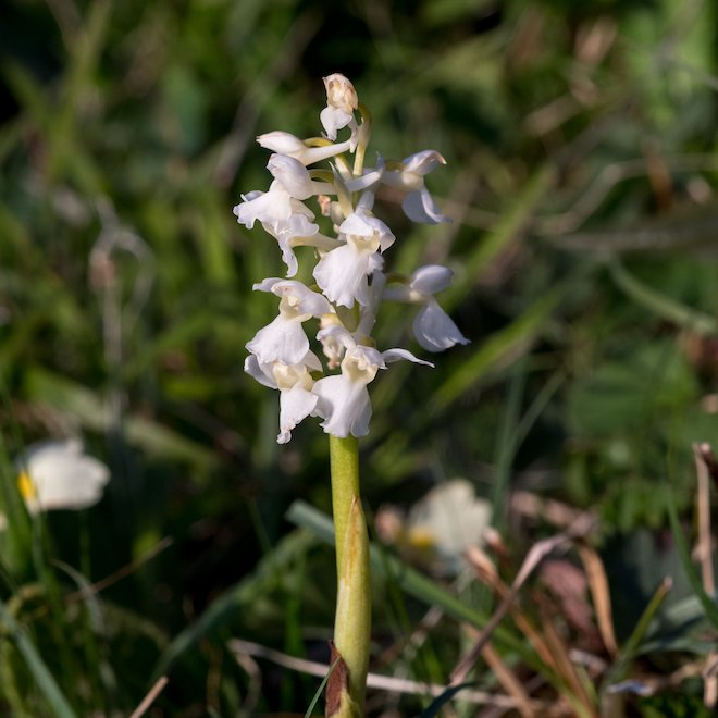 White Early purple orchid availability for 2022 Treshnish Mull